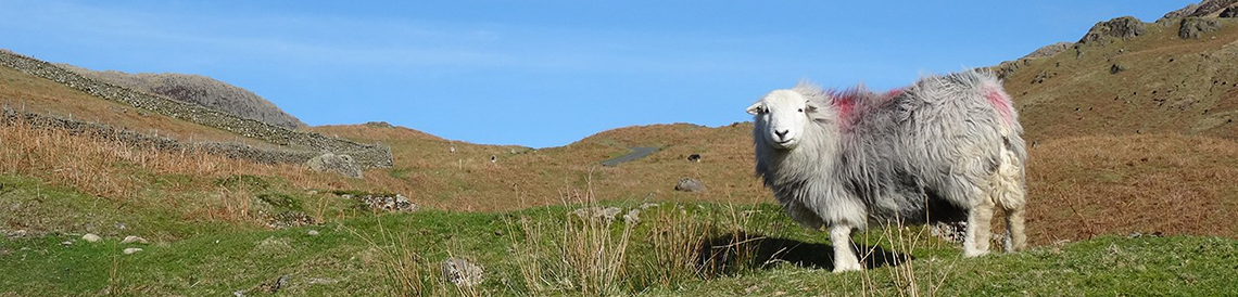 header cumbria sheep